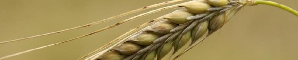 Mugi (barley)